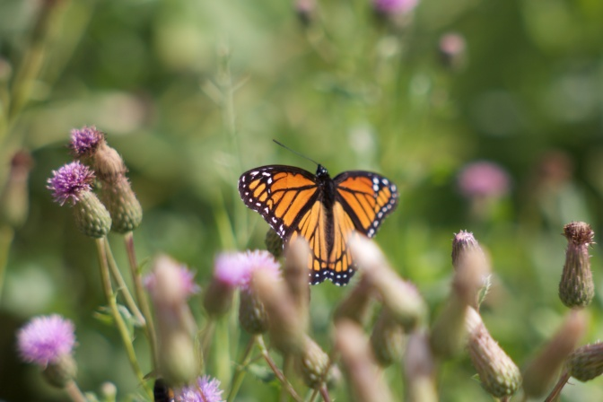 Monarch butterfly in field of immature flower buds.