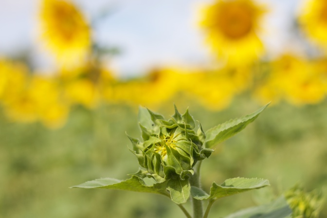 Immature sunflower beginning to open.