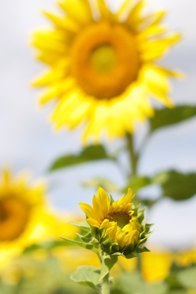 Immature sunflower in foreground with large sunflower in background.
