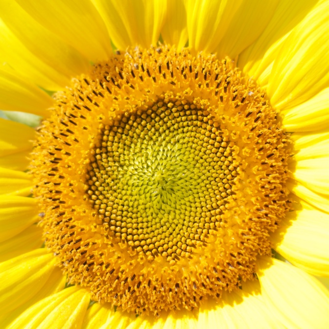 Close-up of sunflower head.