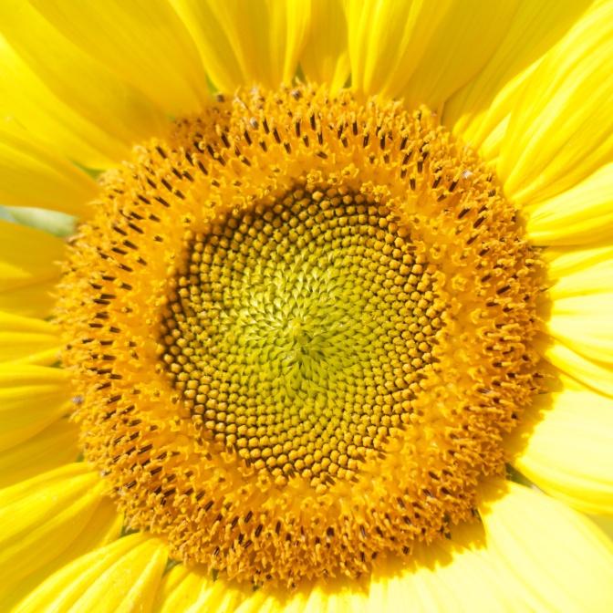 Close-up of sunflower head.