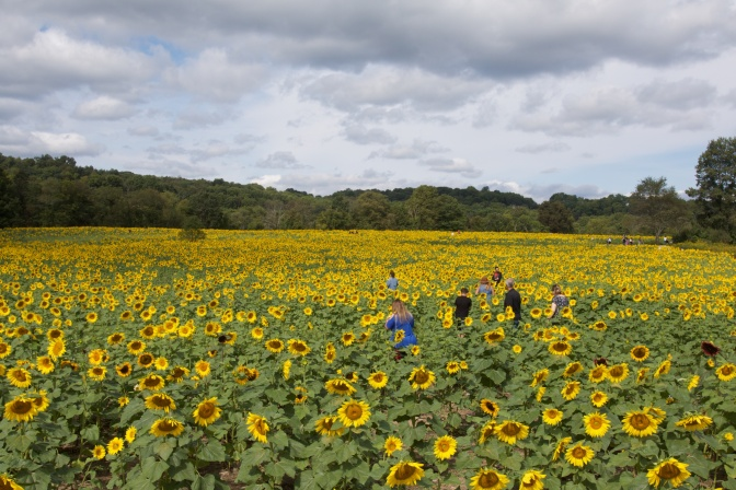 Field of sunflowers, with people moving through them.