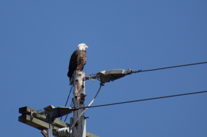 Bald eagle sitting atop power pole.