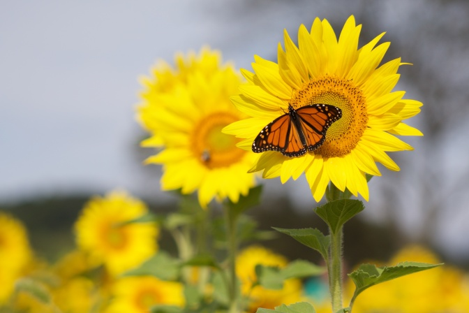 Butterfly perched on sunflower, with several sunflowers in background.