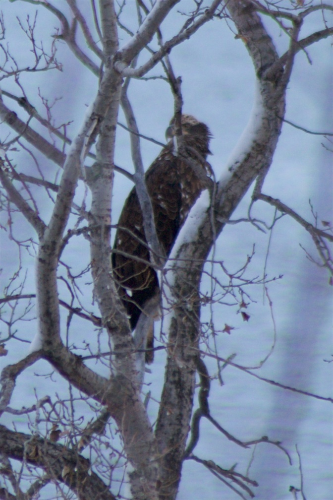 Immature bald eagle in trees.