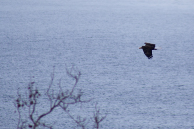 View of eagle flying over river.