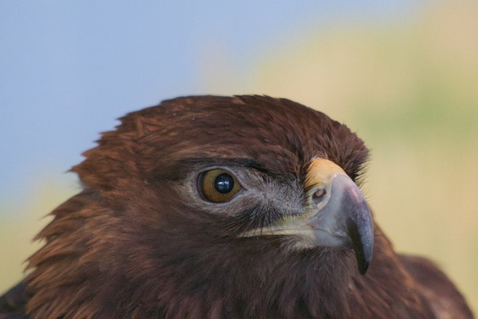Close-up of head of Golden Eagle.