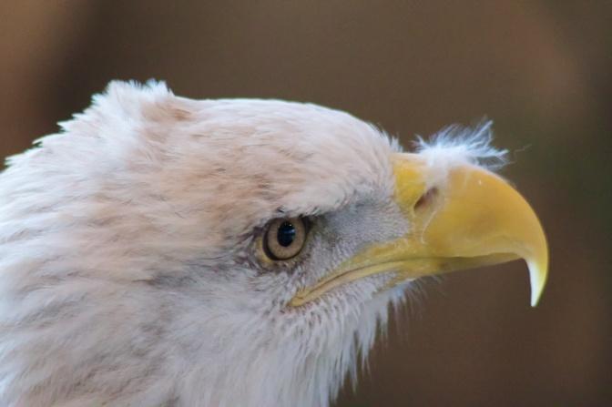 Close up of eagle head.