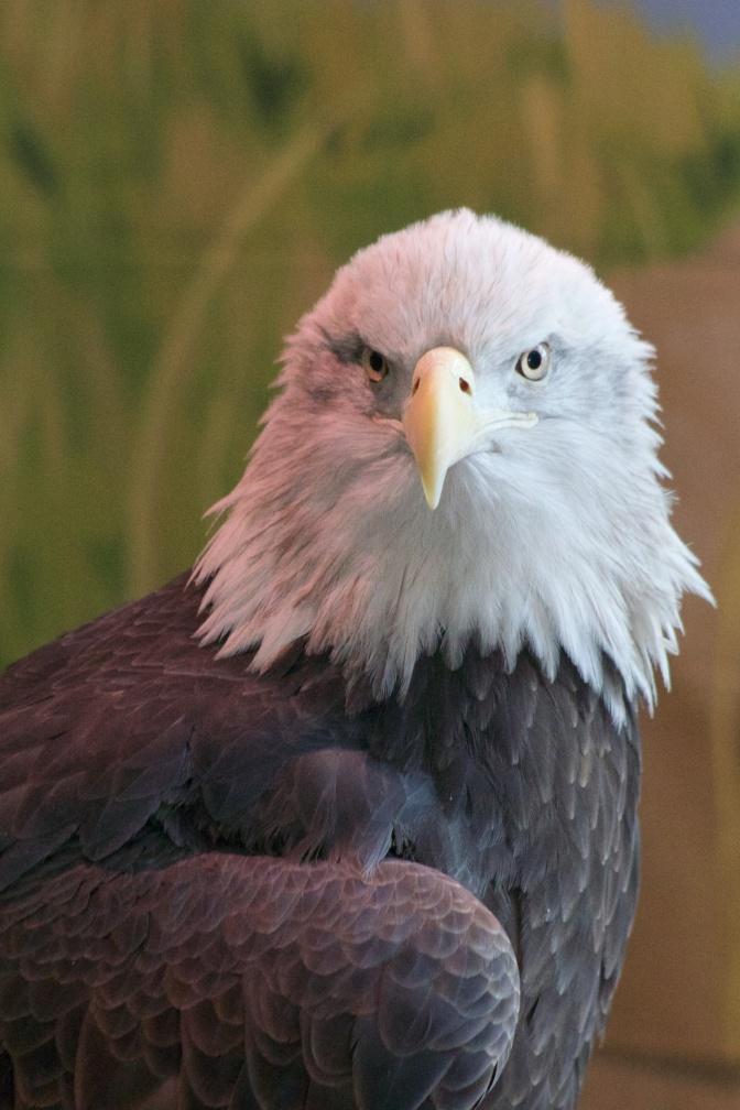 Profile of bald eagle.