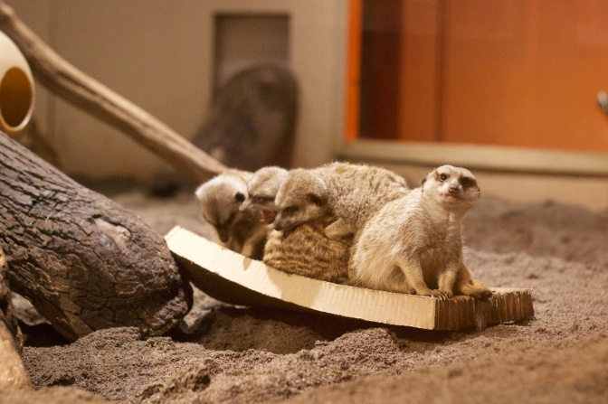 Group of meerkats sitting on wooden board.