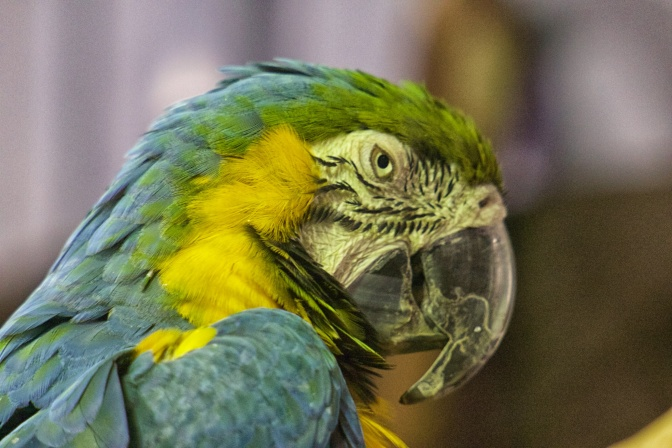 Head of macaw.