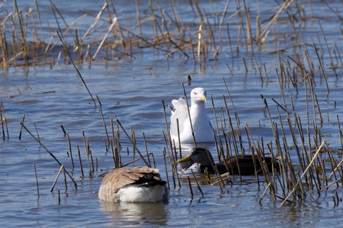 Photo of two ducks, one with an oyster in its mouth, and a seagull, among sea grasses.
