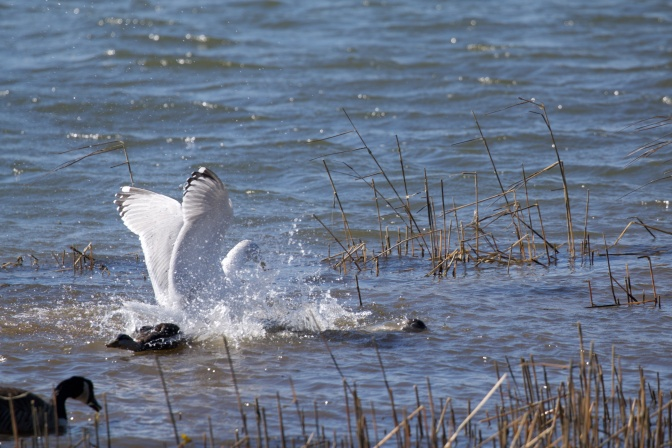 Seagull and duck fighting in water.