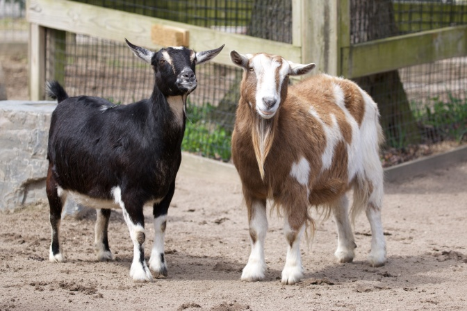 Two goats in pen. Left goat is black and goat on right is brown and yellow.