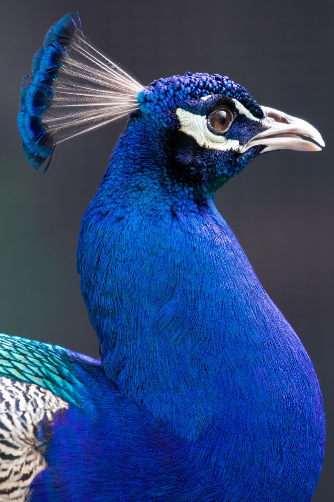 Close-up of head and neck of peacock.