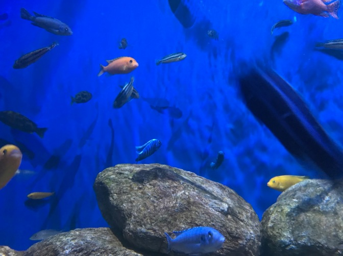 Numerous tropic fish swimming in an aquarium.