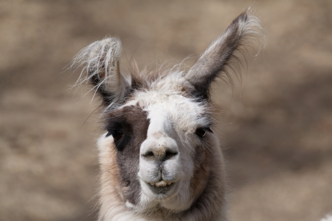 Close-up of head of llama.