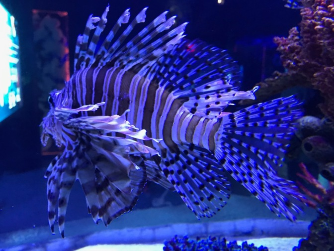 Lionfish swimming in tank.