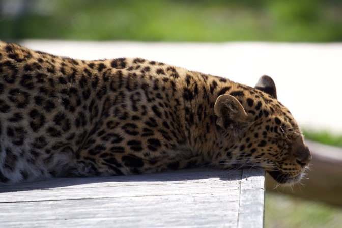 Leopard, asleep on a wooden plank.