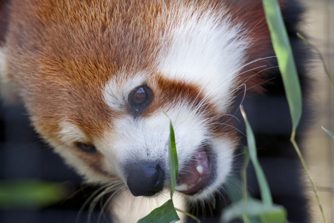 Red panda, eating plants.