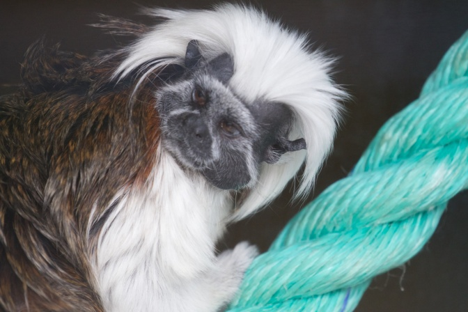 Cotton-top tamarin on a rope.