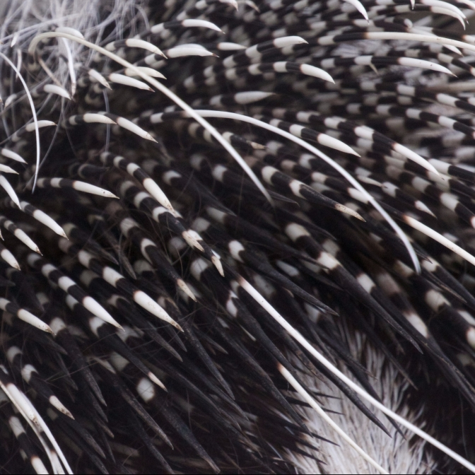 Close-up of porcupine quills.