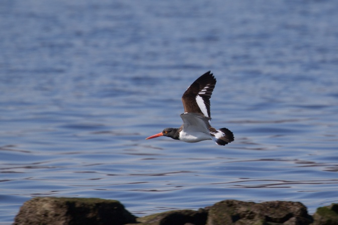American Oystercatcher in flight over water.