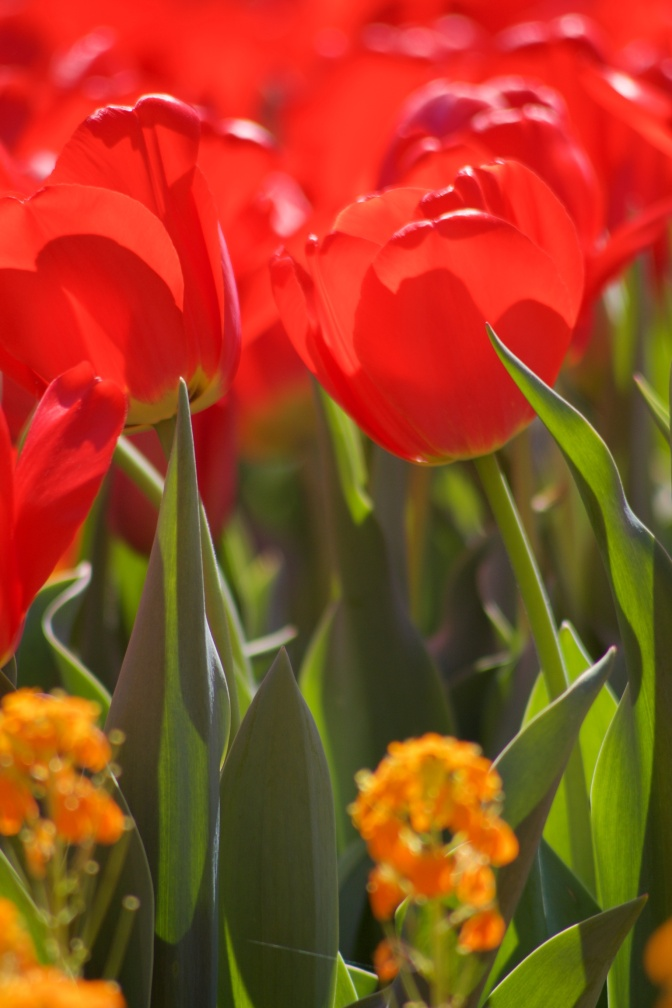 Red tulip, with other red tulips in background.