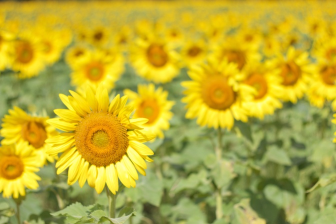 View of one sunflower in focus, with a field of sunflowers out of focus in the background.