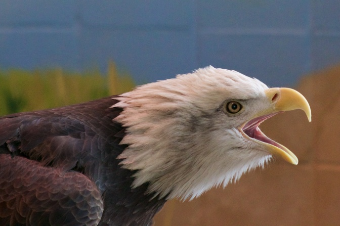 Eagle, with its mouth open, against a blue and green wall.