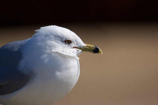 Close-up of head of seagull.