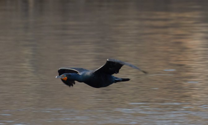 Double crested cormorant flying across pond.