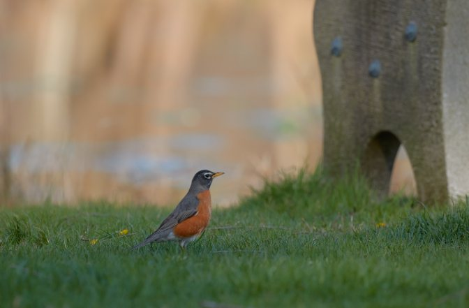 Robin on grass, with park bench in background.