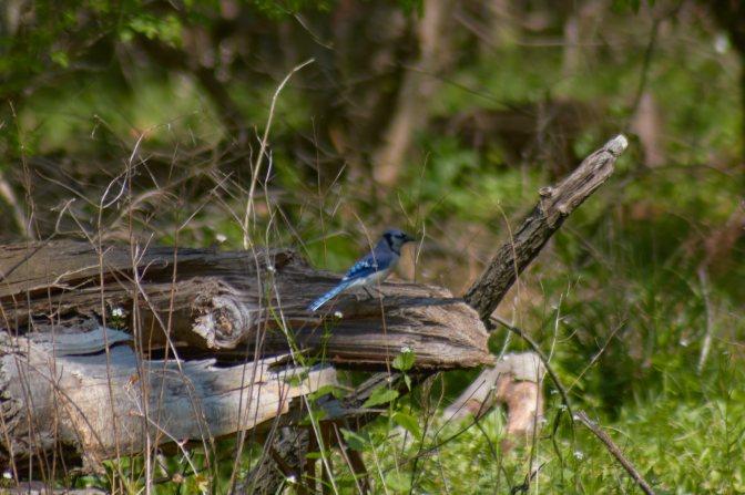Blue jay, sitting on fallen log in woods.