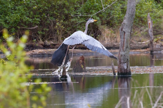 Great blue heron taking off from pond.