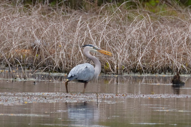 Great Blue Heron in pond.