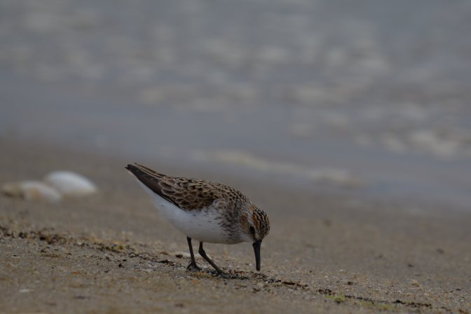Sandpiper searching for food at water's edge.