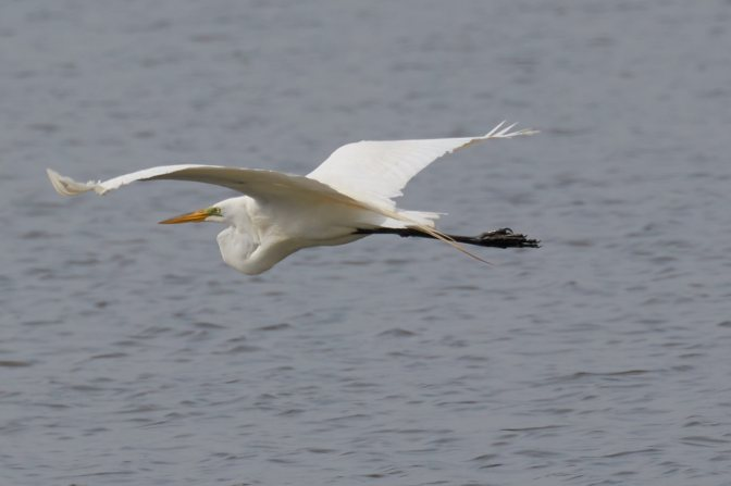 Egret in flight over water.