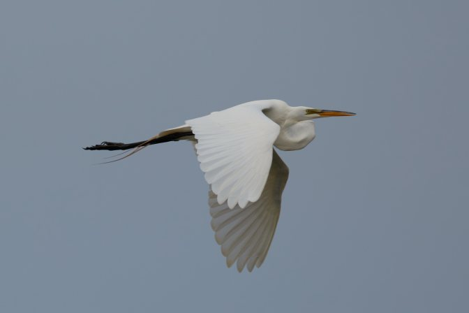 Photo of egret in flight.
