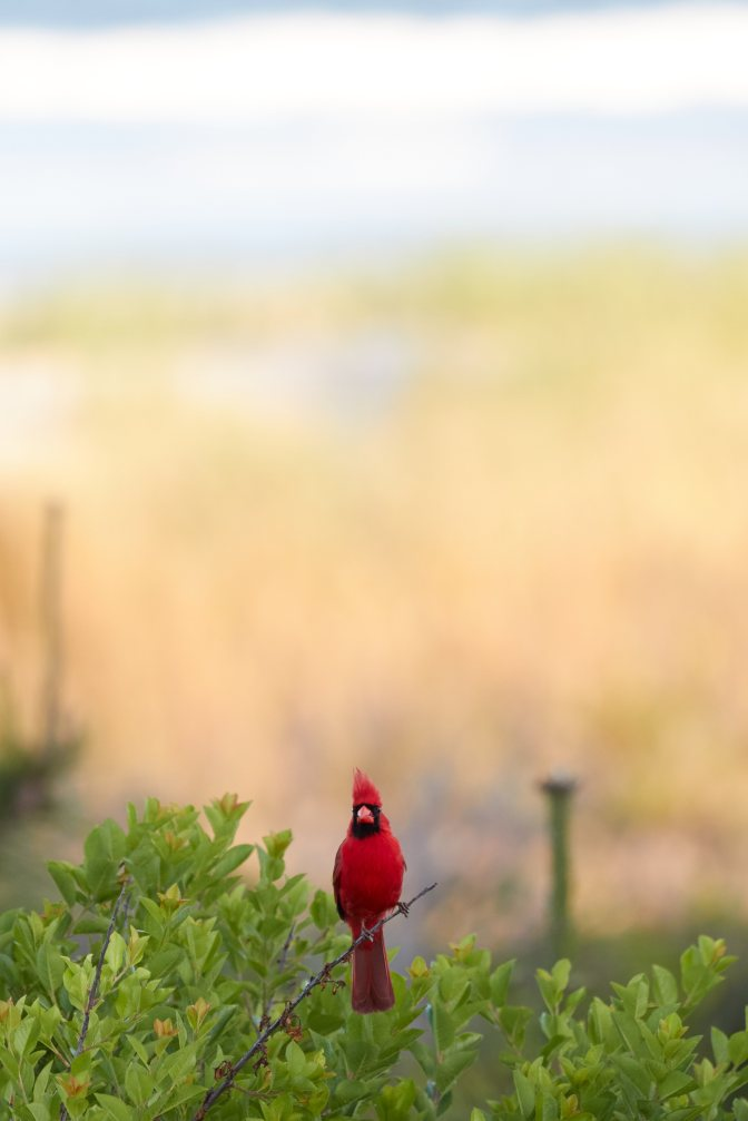 Red cardinal sitting on tree branch, with beach in background.