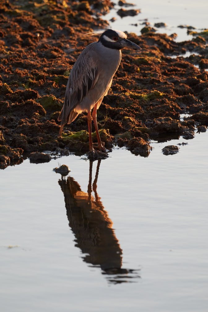 Yellow-crowned night heron standing on shore beside waterway.