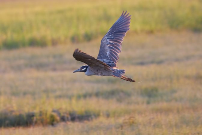 Yellow-crowned night heron in flight.