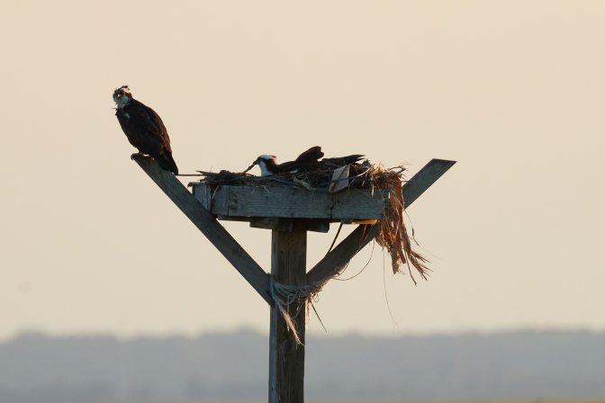 Two ospreys perched on nest on top of pole.
