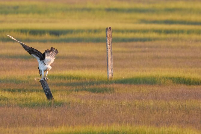 Osprey, landing on small pole.