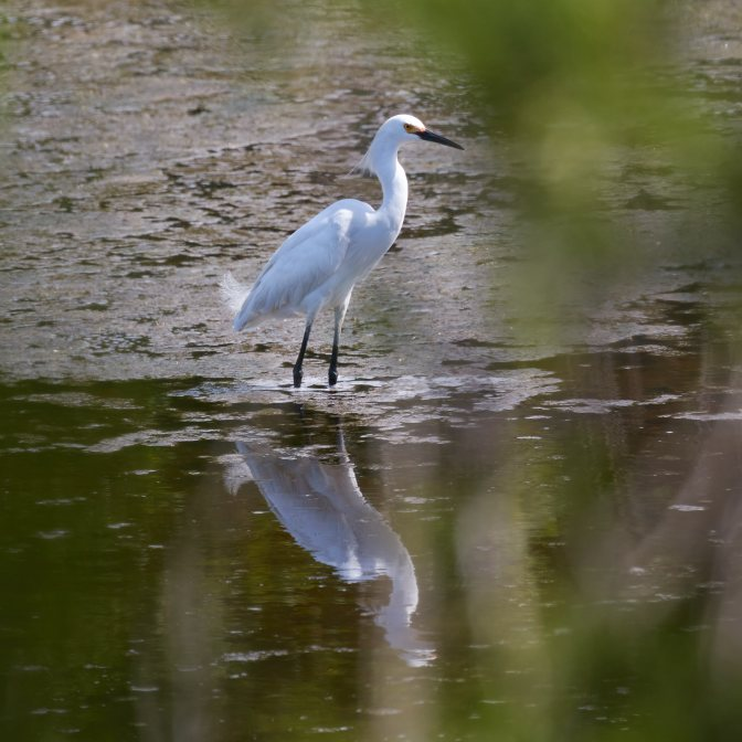 Snowy egret standing in tidal marsh.