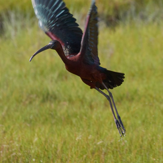 Glossy ibis in flight.