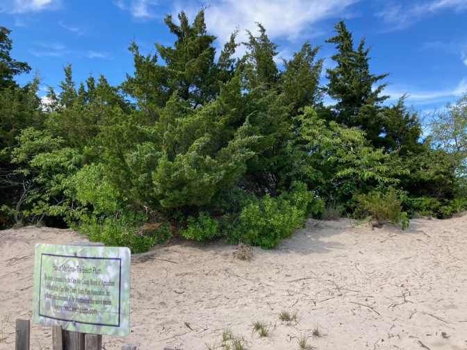 Beech Plum tree on sand dune.