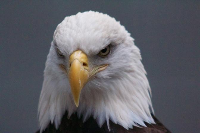 Close-up of head of bald eagle.