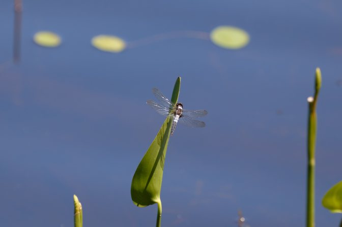 Dragonfly on lily leaf.