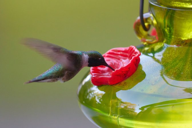 Hummingbird eating from feeder.